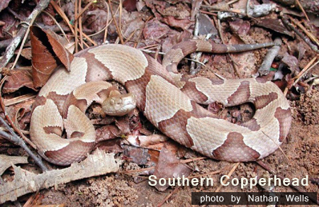 copperhead by Nathan Wells