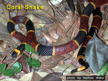 coral snake by Nathan Wells